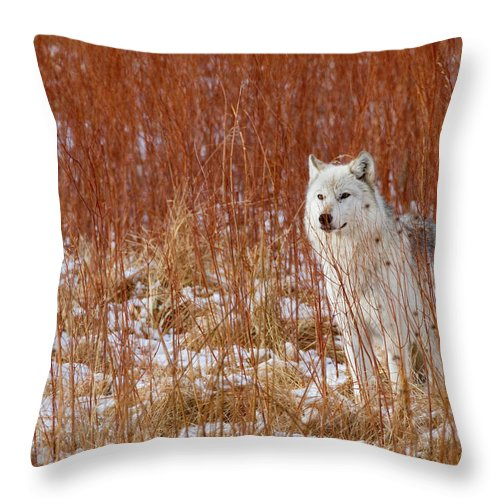 Wolf Throw Pillow featuring the photograph Fire And Ice by Max Waugh