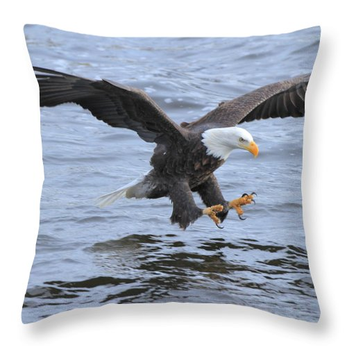 American Bald Eagle Throw Pillow featuring the photograph Fish Grab by Coby Cooper