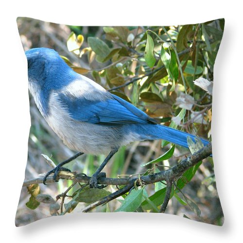Nature Throw Pillow featuring the photograph Florida Scrub Jay by Peg Urban