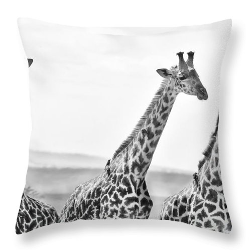 3scape Throw Pillow featuring the photograph Four Giraffes by Adam Romanowicz