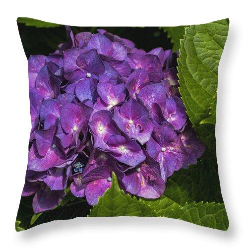 Hydrangea Macrophylla Throw Pillow featuring the photograph Framed Purple Blue Hydrangea Blossom by Kathy Clark