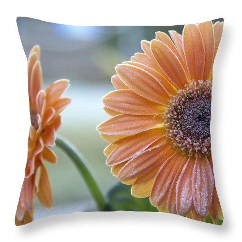 Frost Throw Pillow featuring the photograph Frosted Gerberas by SAJE Photography