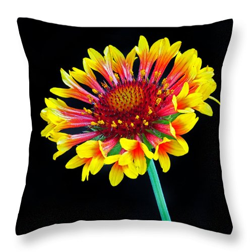 Gaillardia Throw Pillow featuring the photograph Gaillardia Arizona Sun by Dave Mills