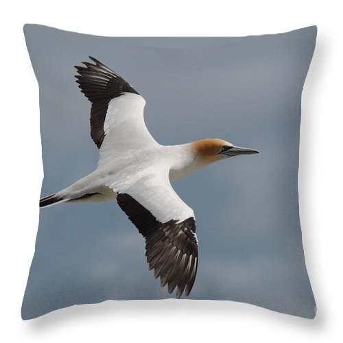 Gannet Throw Pillow featuring the photograph Gannet In Flight by Vivian Christopher
