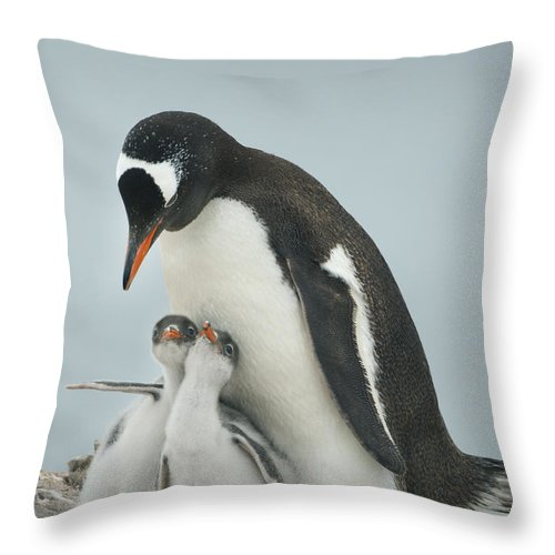 534764 Throw Pillow featuring the photograph Gentoo Penguin With Chicks Antarctica by Kevin Schafer
