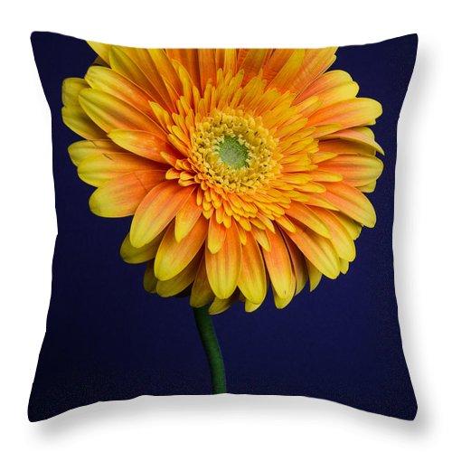 Blue Throw Pillow featuring the photograph Gerber Daisy by Mark Meyer