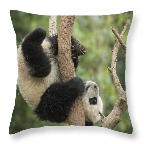 Katherine Feng Throw Pillow featuring the photograph Giant Panda Cub In Tree Chengdu Sichuan by Katherine Feng