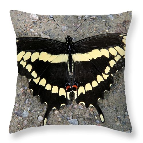 Giant Swallowtail Throw Pillow featuring the photograph Giant Swallowtail by Doris Potter