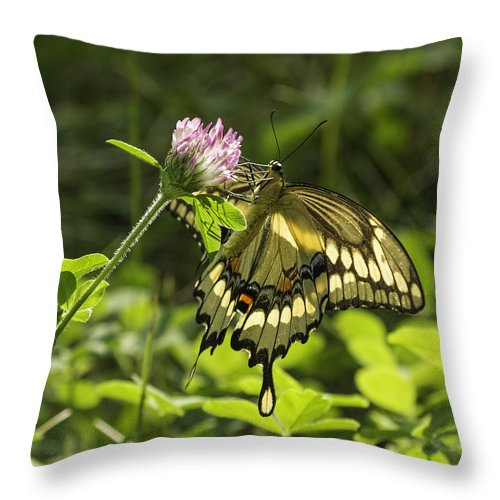 Giant Swallowtail Throw Pillow featuring the photograph Giant Swallowtail On Clover 3 by Thomas Young
