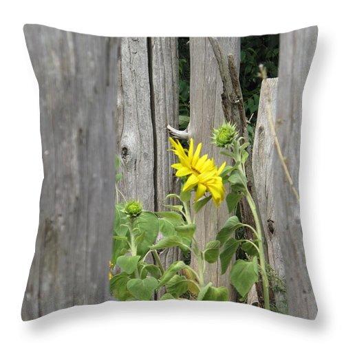 Sunflower Throw Pillow featuring the photograph Gloria's Favorite by Barbara McDevitt
