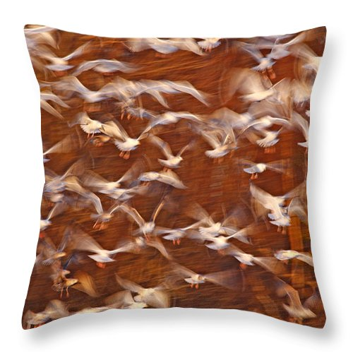 Mp Throw Pillow featuring the photograph Great Black-backed Gulls by Scott Leslie