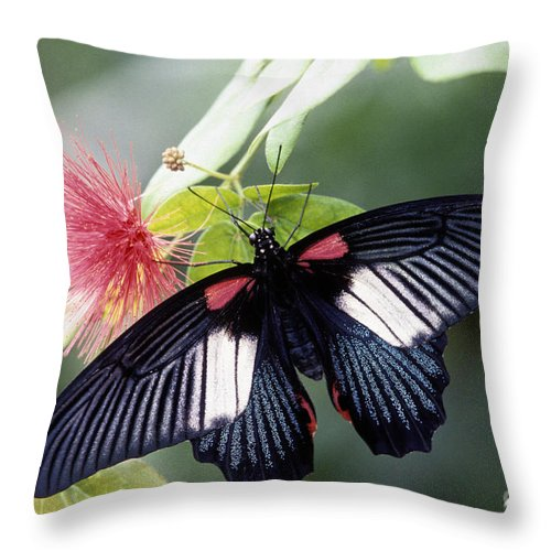 Great Throw Pillow featuring the photograph Great Mormon And Mimosa - Fs000581 by Daniel Dempster