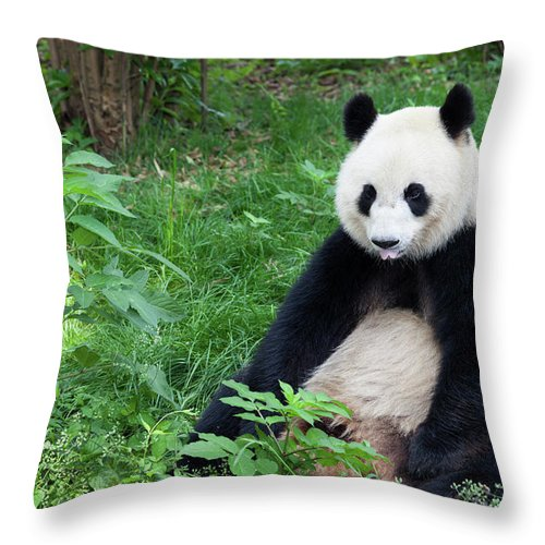 Chinese Culture Throw Pillow featuring the photograph Great Panda Showing Its Tongue - by Fototrav
