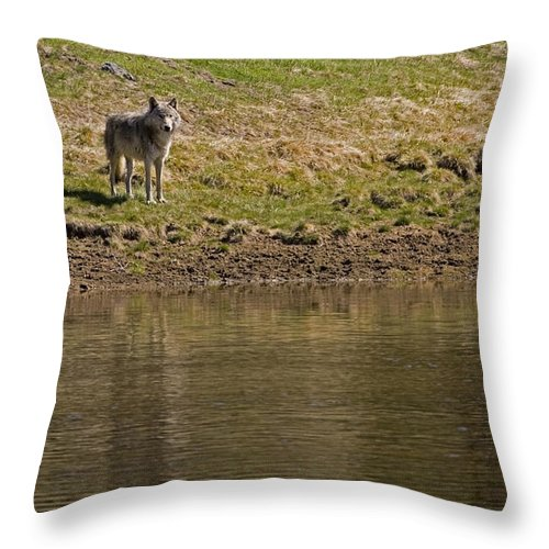 Canis Lupus Throw Pillow featuring the photograph Grey Wolf  #4427 by J L Woody Wooden