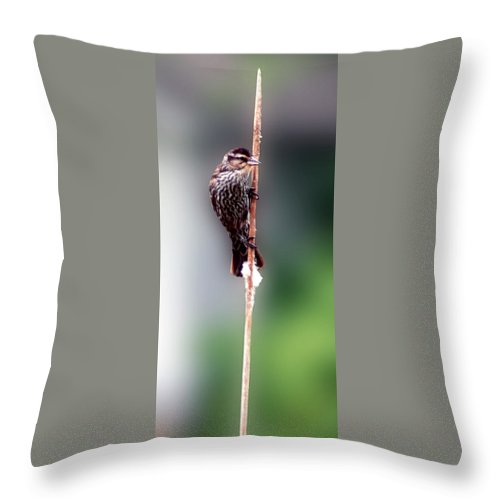 Female Red Wing Black Birds Throw Pillow featuring the photograph Hanging On by Optical Playground By MP Ray