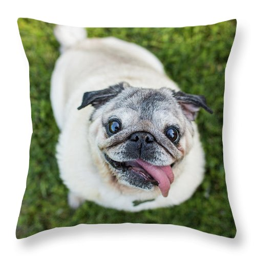 Pets Throw Pillow featuring the photograph Happy Pug Dog Looks Up At Camera by Purple Collar Pet Photography