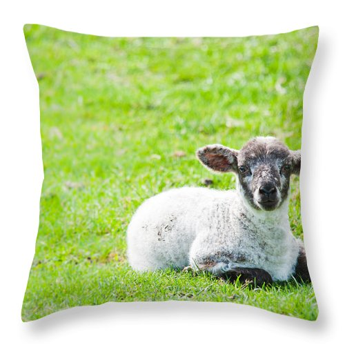 Sheep Throw Pillow featuring the photograph Have You Any Wool by Cheryl Baxter