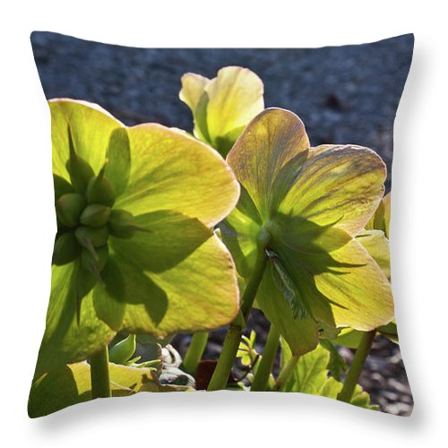 Heleborus Throw Pillow featuring the photograph Helleborus Backlight Blossoms 2 by Douglas Barnett