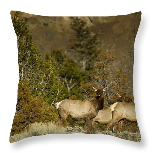 Elk Throw Pillow featuring the photograph Herd Of Cow Elk  #7672 by J L Woody Wooden