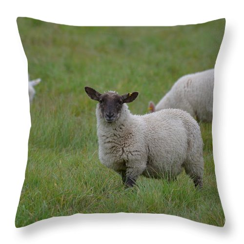 Sheep Throw Pillow featuring the photograph Herd Of Sheep by DejaVu Designs