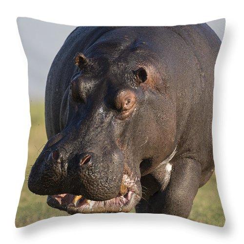 Vincent Grafhorst Throw Pillow featuring the photograph Hippopotamus Bull Charging Botswana by Vincent Grafhorst