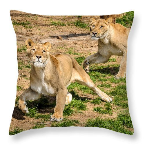 Lion Throw Pillow featuring the photograph Hokie Pokie by Pat Scanlon