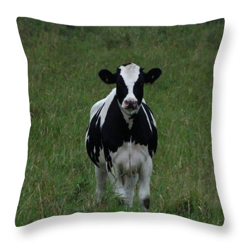 Farm Animals Throw Pillow featuring the photograph Holstein Hello by Mary Vinagro