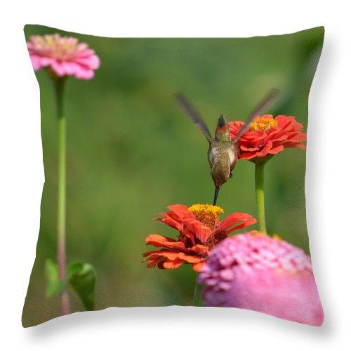 Hummingbird Throw Pillow featuring the photograph Hummingbird And Zinnias by P S
