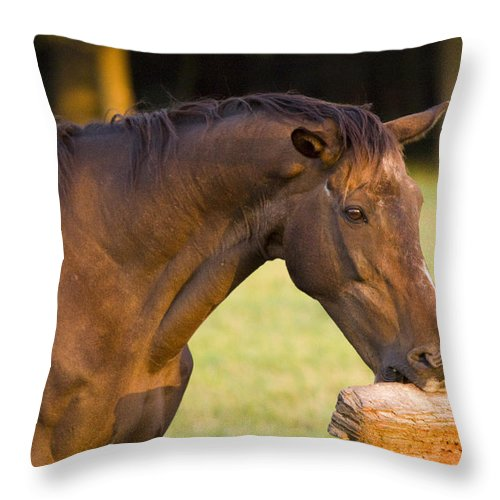 Pony Throw Pillow featuring the photograph Hungry by Angel Ciesniarska