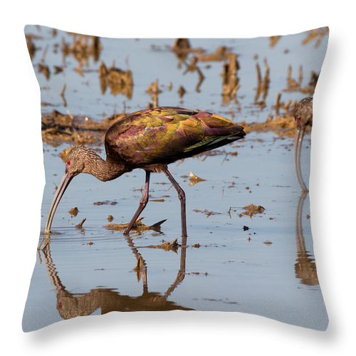 Ibis Throw Pillow featuring the photograph Ibis Feeding On Winter Wetlands by Kathleen Bishop