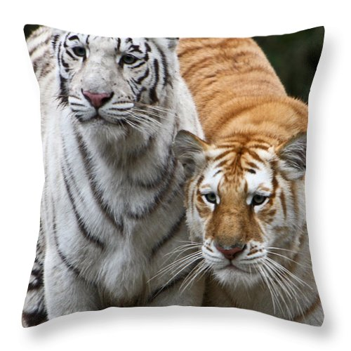 Tiger Throw Pillow featuring the photograph Intent Tigers by Douglas Barnett