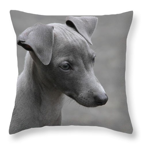 Puppy Throw Pillow featuring the photograph Italian Greyhound Puppy by Angie Vogel