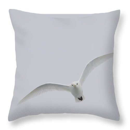 Ivory Gull Throw Pillow featuring the photograph Ivory Gull In Flight by John Shaw
