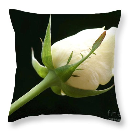 Ivory Throw Pillow featuring the photograph Ivory Rose Bud by Carol Lynch