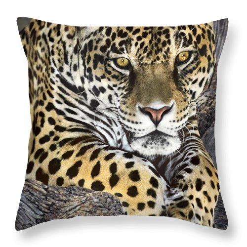Jaguar Throw Pillow featuring the photograph Jaguar Portrait Wildlife Rescue by Dave Welling