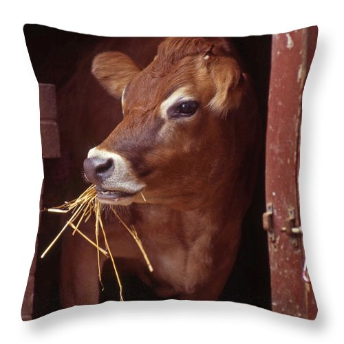 Cow Throw Pillow featuring the photograph Jersey Cow by Skip Willits