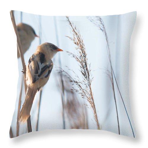 Bulgaria Throw Pillow featuring the photograph jn01 Bearded Reedling Juvenile by Jivko Nakev