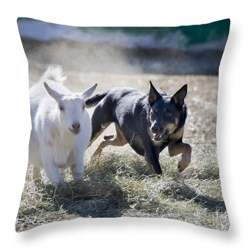 Kelpie Throw Pillow featuring the photograph Kelpie Dog by Dianne Phelps