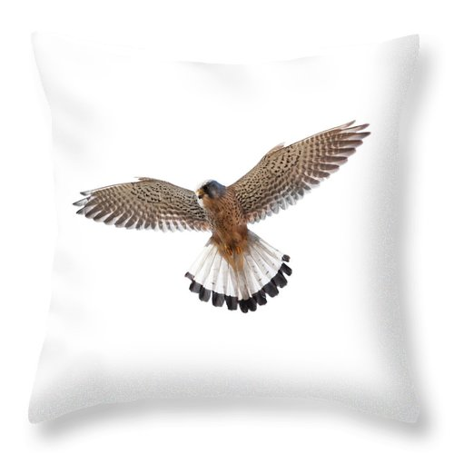 White Background Throw Pillow featuring the photograph Kestrel Falco Tinnunculus by Andrew howe