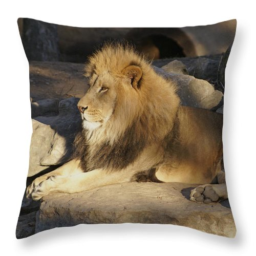 Lion Throw Pillow featuring the photograph King Of The Rock by Robert Edgar