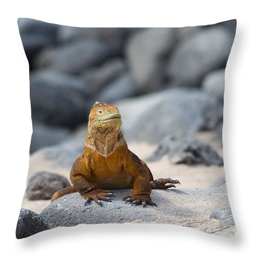 Galapagos Throw Pillow featuring the photograph Land Iguana On The Beach by Allan Morrison