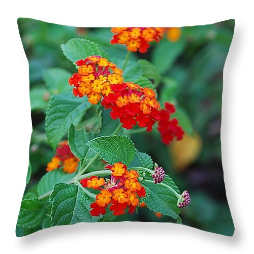 Lantana Throw Pillow featuring the photograph Lantana Delight by Francie Davis