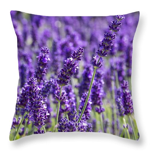 Lavender Throw Pillow featuring the photograph Lavender Fields by Ross G Strachan