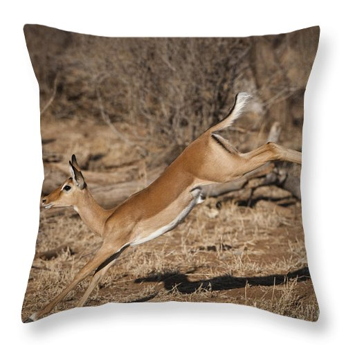 Aepycetos Melampus Throw Pillow featuring the photograph Leaping Impala by John Shaw