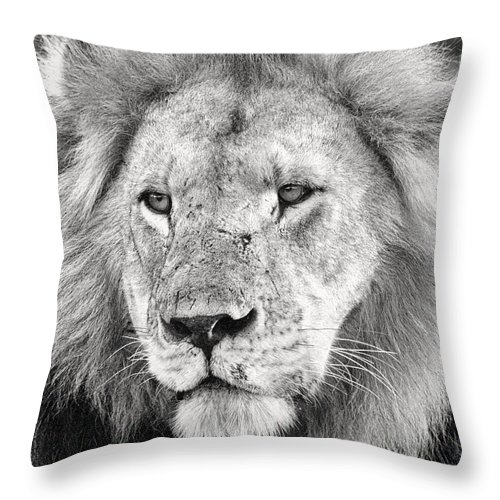 3scape Throw Pillow featuring the photograph Lion King by Adam Romanowicz