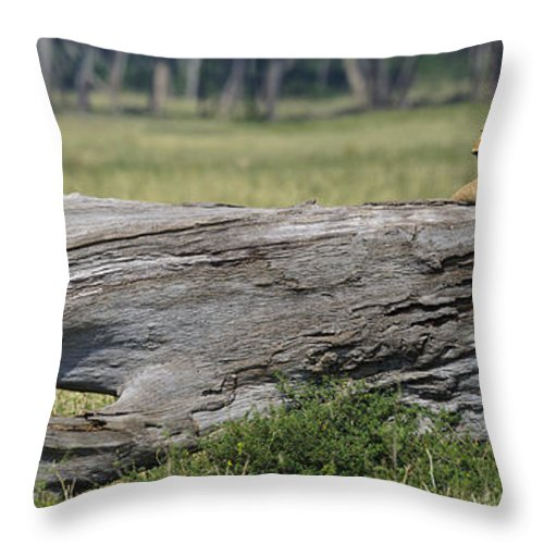 Africa Throw Pillow featuring the photograph Lions by John Shaw