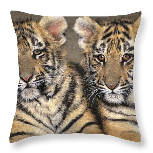Bengal Tigers Throw Pillow featuring the photograph Little Angels Bengal Tigers Endangered Wildlife Rescue by Dave Welling