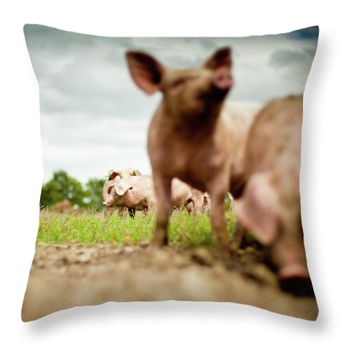 Pig Throw Pillow featuring the photograph Little Pigs by Emmanuelle Brisson