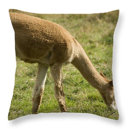 Alpaca Throw Pillow featuring the photograph Llama by Milena Boeva