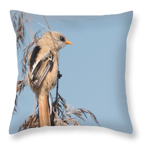 Bulgaria Throw Pillow featuring the photograph ln06 Bearded Reedling Juvenile by Jivko Nakev